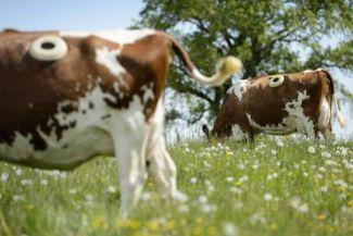 لماذا يصنع المزارعون الأوروبيون ثقوبا في بطون الأبقار