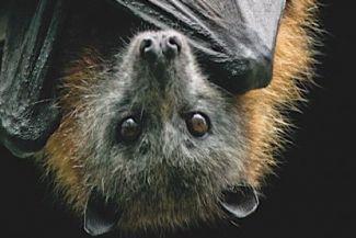 ما لا تعرفه عن الخفافيش وعلاقتها بالعدوى الفيروسية مثل كورونا المستجد