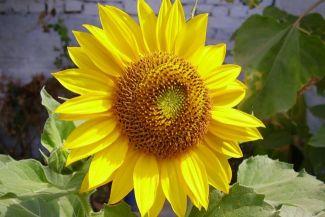 حقائق عن زهرة دوار الشمس