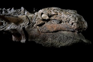 The best preserved fossil of a dinosaur ever