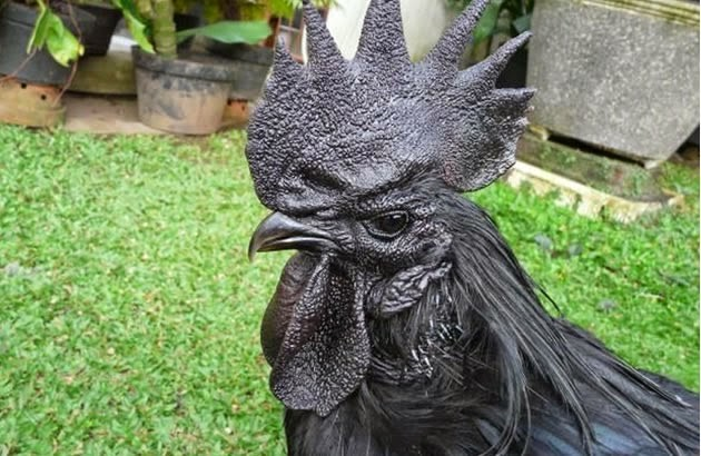The most expensive chicken in the world