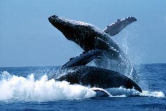 5 حقائق مذهله عن الحوت الأزرق
