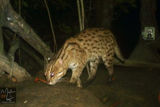 Rare fishing cat photographed in Cambodia